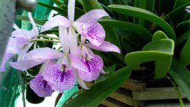 13 and 15-year-old Brassocattleya Maikais opening…
