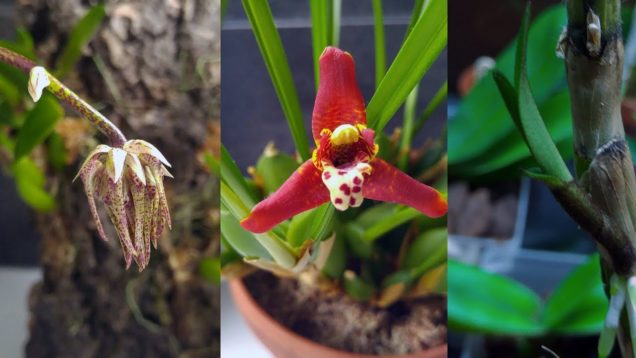 2019 May orchids update: new spikes, bulbs, roots and keiki :)