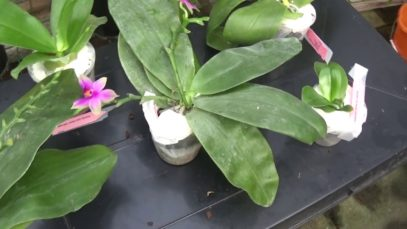 A delivery of specie phaleanopsis with some information.