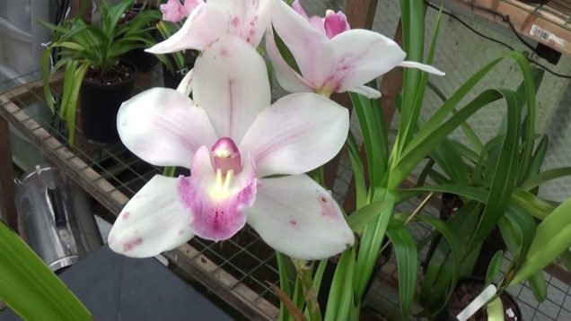 A little discussion and a bloop on Cymbidiums