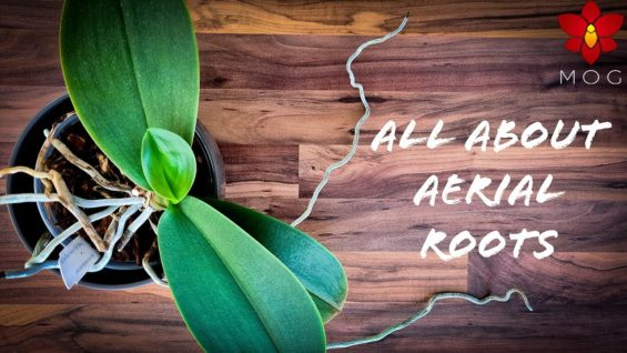 Aerial Roots on Orchids – Why they appear & How to care for them? | Orchid Care Tips for Beginners
