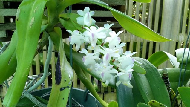 Aerides (NOID). Too close to call; though very lemony scent.