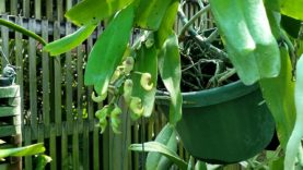 AERIDES section; blooms coming and going…