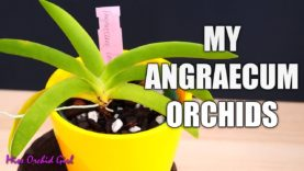 Angraecum Orchids collection – From the small to the huge!