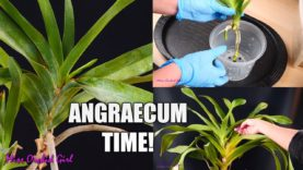 Angraecum Orchids – Keiki separation, crown rot recovery & more!