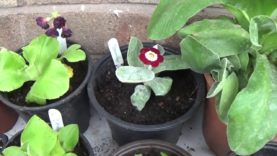 Auricula plants- Haul & repotting