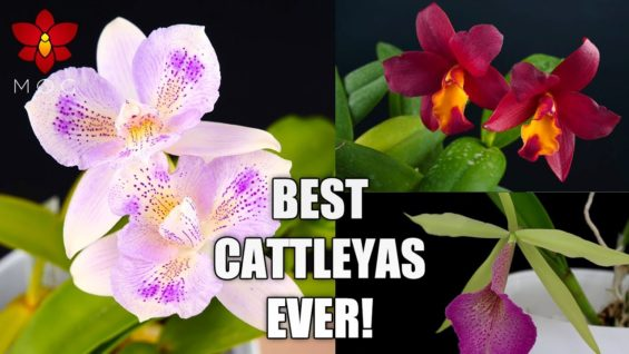Best & Most Rewarding Cattleya Orchid Plants I Recommend to Beginners!