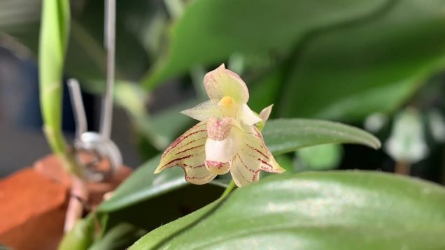 Bloom Profile No.20 | Bulbophyllum Ambrosia