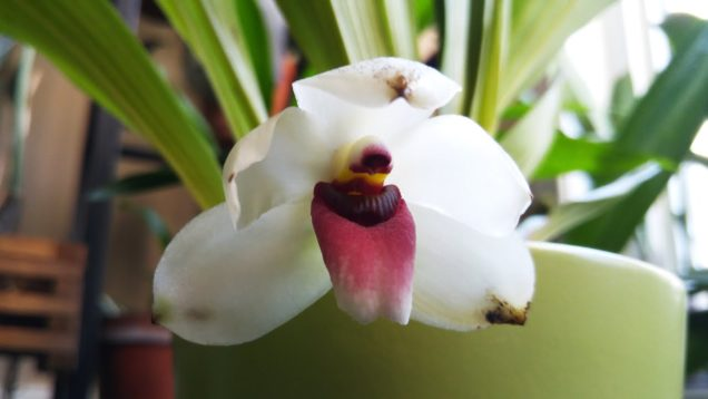Bollea or Pescatoria  orchid in bloom