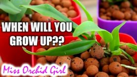 Buying the right size Orchid to suit you! – Explaining seedling, near blooming, & other sizes 🌱