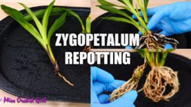 Can a broken Orchid new growth be saved? | Potting 4 Zygopetalums in one go!