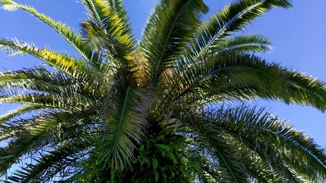 Canary Island Date Palm; full, tight (new growth fronds) crown.