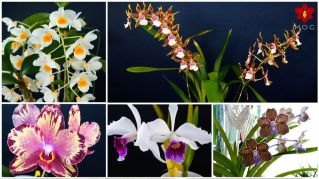 Care Tips & Blooms – Orchids for your wishlist in May 2020
