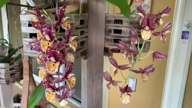 Catasetum Blooms, Thrips Update, New Orchid Blooms