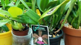 Cattleya Orchid (Mother's Day) surprise