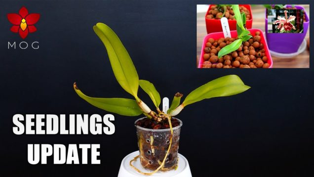 Cattleya Orchid Seedlings Update – They grow so fast… NOT!