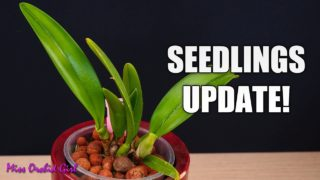 Cattleya Orchid seedlings Update – Thoughts on deficiencies