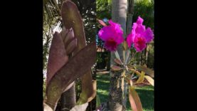 Cattleya Orchid Update! New Blooms! Orchids on Trees, Orchid Care, Orchid Diva
