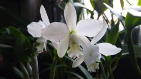 Cattleya White Bridal second blooming this season and a spoiler at the end…