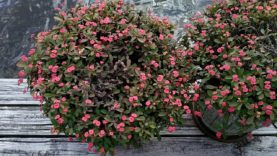 CROWN OF THORNS • Eupborbia milii 'Rosy' • In Full Bloom