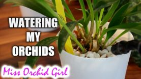 Cutting Dendrobium Orchid canes – When & how