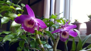 Dendrobium from Lucythecat blooms and look at my other dendrobiums