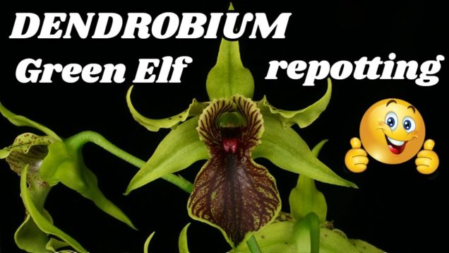 Dendrobium Latouria Care – Repotting Dendrobium Green Elf