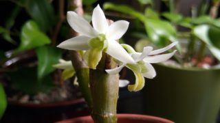 Dendrobium scabrilingue – orchid in bloom January 2020