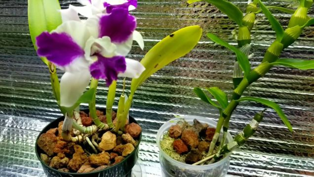 Dendrobium Trantuanii Orchid & Highlight orchids