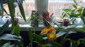 Dendrobiums and cattleyas: sorting out for winter and new plants update. October 2020
