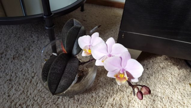 Experiment: Fragrant Orchid or Not?