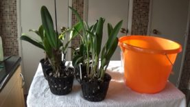 February update on Cattleyas and the benefits of Epsom Salts.