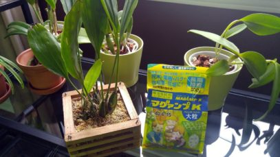 Feeding my Stanhopea orchid with Magamp K