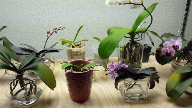 Fertilizing Routine for Water Culture Orchids & Some Changes