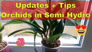 Growing Orchids in Semi Hydro in Self Watering Pots Updates and Maintenance Tips