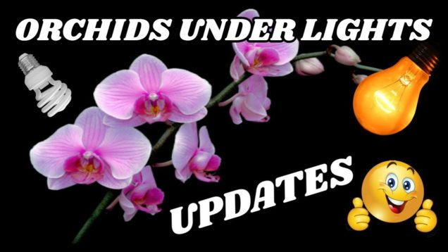 Growing Orchids Under Lights – Updates