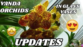 Growing Vanda Orchids In Glass Vases – Updates