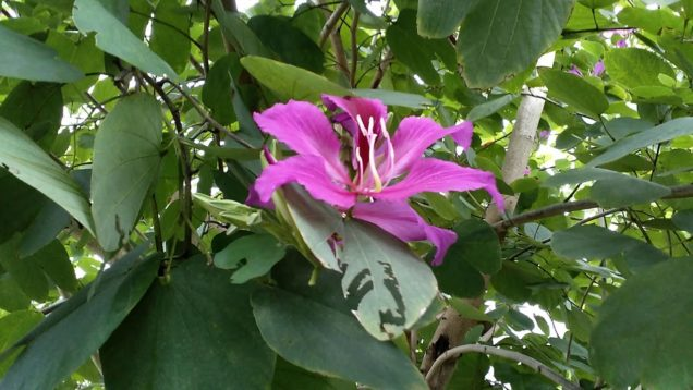 HONG KONG ORCHID TREE ( Bauhinia blakeana ) in flower.