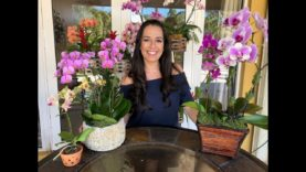 How to Care for Your Phalaenopsis Orchid | Orchid Care for Beginners | Orchid Diva