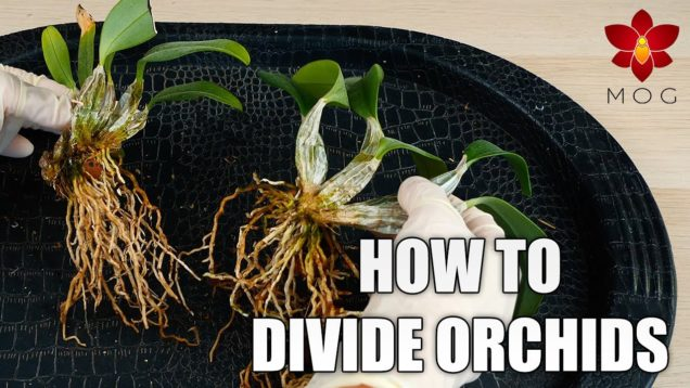 How to divide Orchids – Propagate your Orchids successfully! | Care Tips for Beginners
