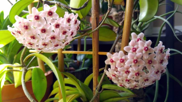 Hoya plants update, spring 2020  –  some blooms, some buds and new leaves!