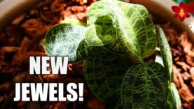 I got new Jewel Orchids! 🤩 Repotting and Updates | feat. Macodes petola Sparkles ✨