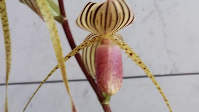 June 22, 2019 Paph Blooms show case today'