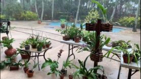 Let it Rain, South Florida Thunderstorms, Bring your Orchids Outside, Flushing Orchids