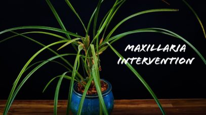 Maxillaria tenuifolia Orchid in need of help! + Fix for glazed clay self watering pots!