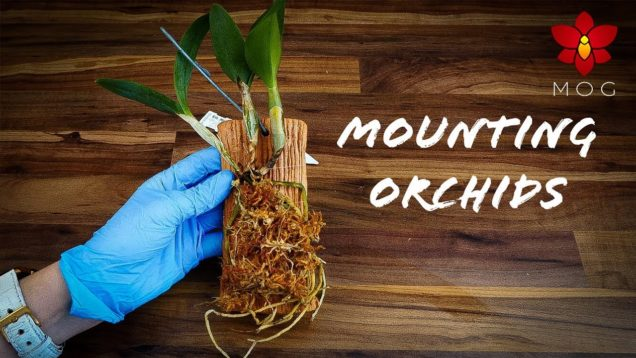 Mounted Orchids – How to & Care Tips! – Orchid Care for Beginners