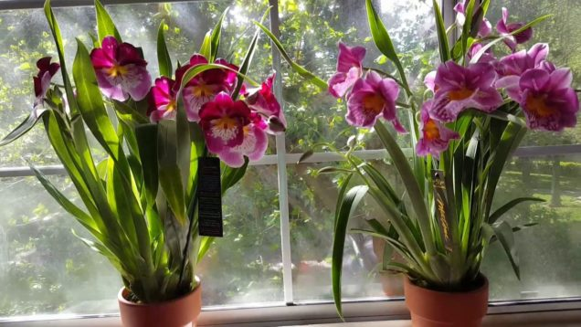 My Adventure finding Miltoniopsis Orchids