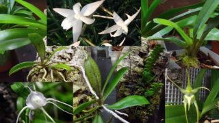 My angraecoid orchids collection (Angraecums, Aerangis, Aeranthes) and how I grow them,