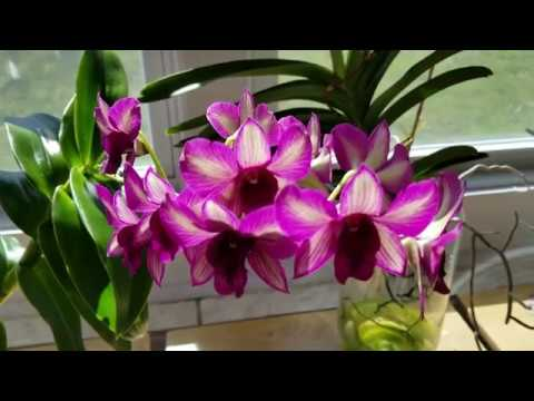 My Cattleya is in bloom!  1st day of Spring 2019 tour!