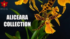My Miltonia & Aliceara Orchid Plants collection – Favorite Intergenerics!